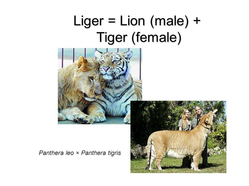 Liger = Lion (male) + Tiger (female)