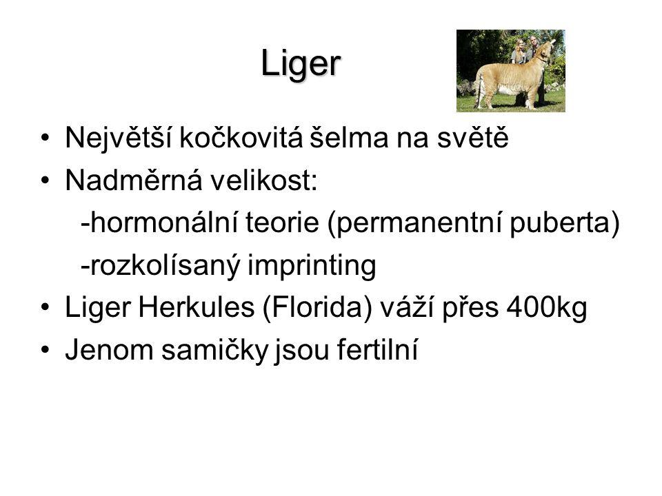 Liger Největší kočkovitá šelma na světě Nadměrná velikost: