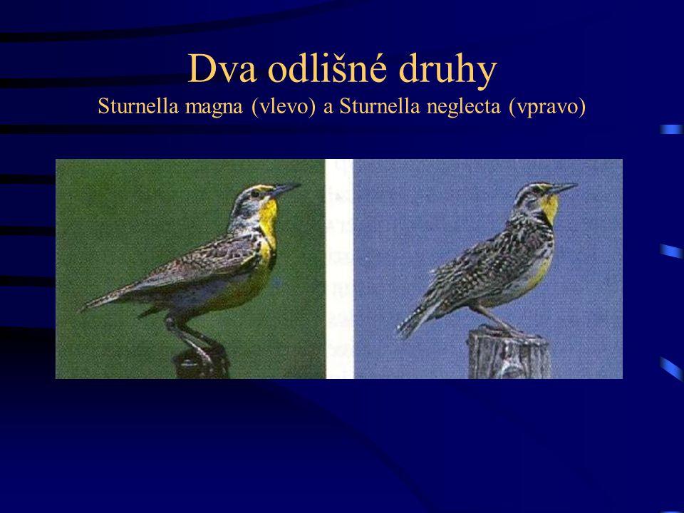 Dva odlišné druhy Sturnella magna (vlevo) a Sturnella neglecta (vpravo)