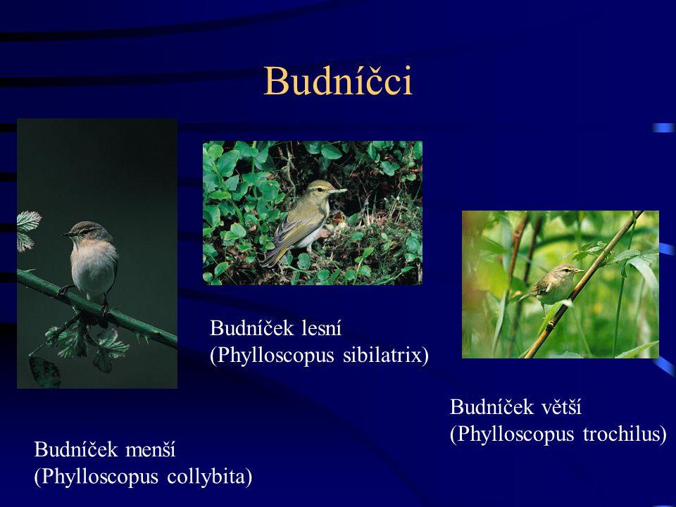 Budníčci Budníček lesní (Phylloscopus sibilatrix) Budníček větší