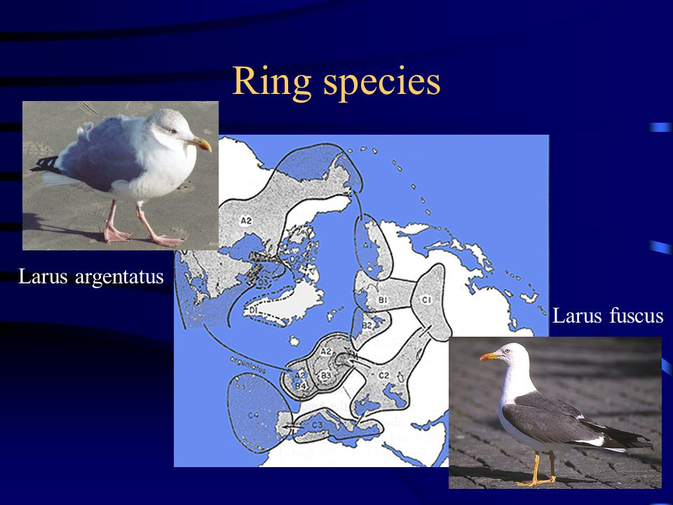Ring species Larus argentatus Larus fuscus