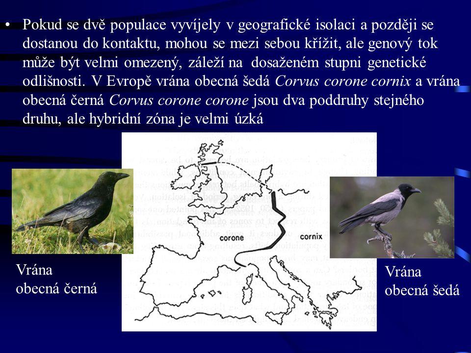 Pokud se dvě populace vyvíjely v geografické isolaci a později se dostanou do kontaktu, mohou se mezi sebou křížit, ale genový tok může být velmi omezený, záleží na dosaženém stupni genetické odlišnosti. V Evropě vrána obecná šedá Corvus corone cornix a vrána obecná černá Corvus corone corone jsou dva poddruhy stejného druhu, ale hybridní zóna je velmi úzká