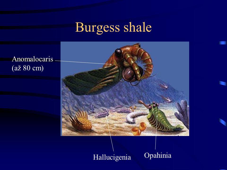 Burgess shale Anomalocaris (až 80 cm) Opahinia Hallucigenia