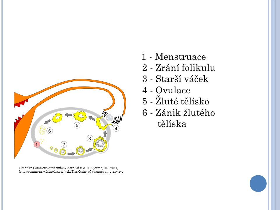 1 - Menstruace 2 - Zrání folikulu 3 - Starší váček 4 - Ovulace 5 - Žluté tělísko 6 - Zánik žlutého tělíska