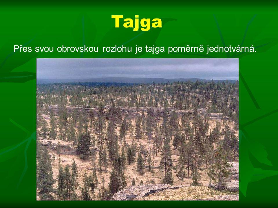 Tajga Přes svou obrovskou rozlohu je tajga poměrně jednotvárná.