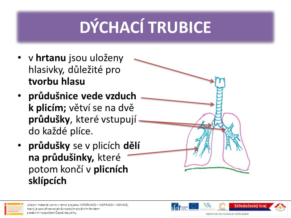 DÝCHACÍ TRUBICE v hrtanu jsou uloženy hlasivky, důležité pro tvorbu hlasu.