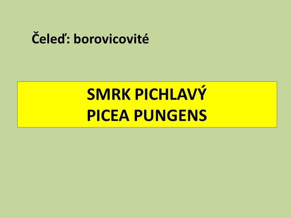 SMRK PICHLAVÝ PICEA PUNGENS