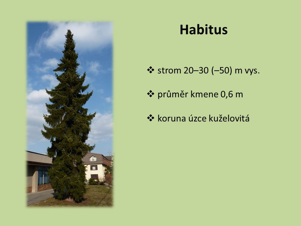 Habitus strom 20–30 (–50) m vys. průměr kmene 0,6 m