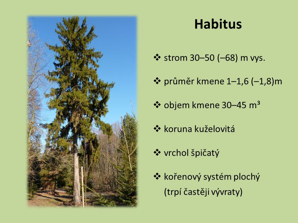Habitus strom 30–50 (–68) m vys. průměr kmene 1–1,6 (–1,8)m