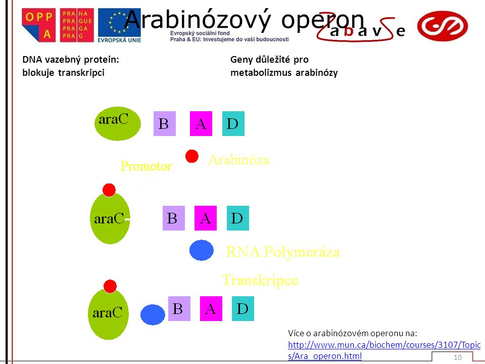 Arabinózový operon DNA vazebný protein: blokuje transkripci