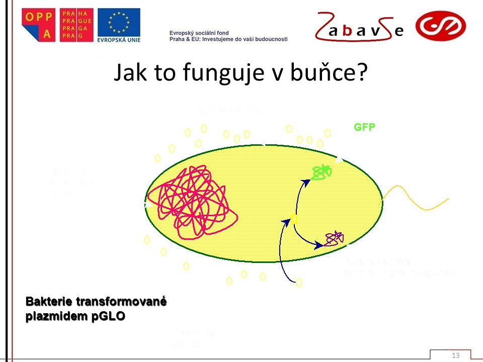 Jak to funguje v buňce Bakterie transformované plazmidem pGLO
