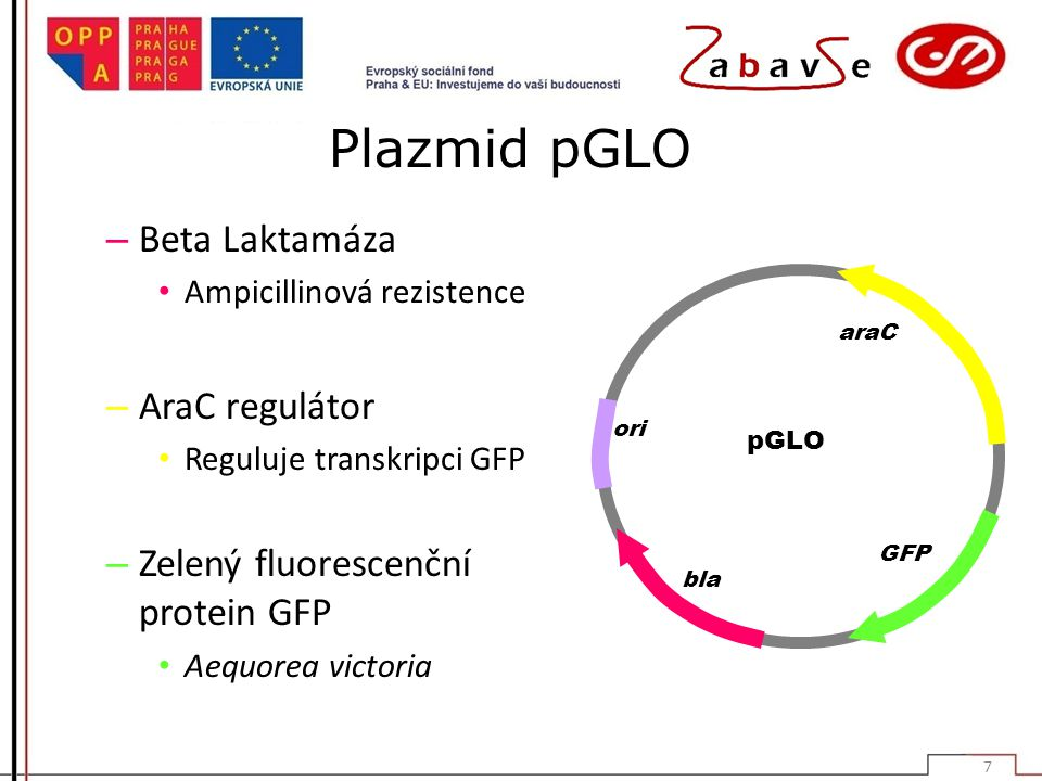 Plazmid pGLO Beta Laktamáza AraC regulátor