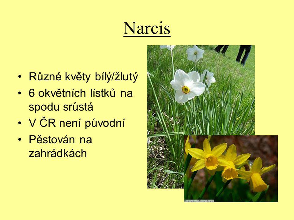 Narcis Různé květy bílý/žlutý 6 okvětních lístků na spodu srůstá
