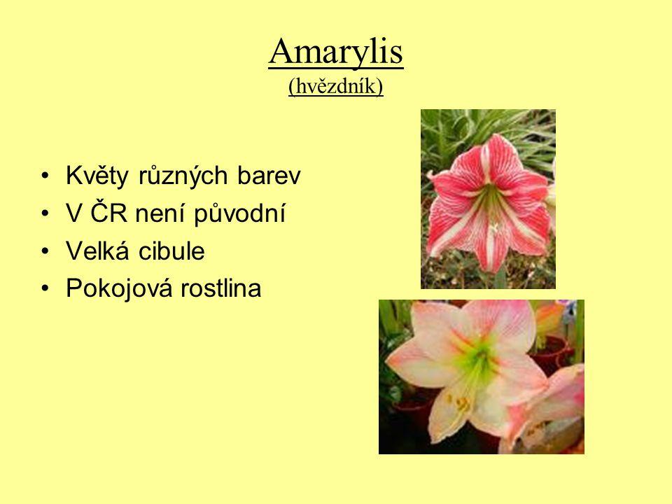 Amarylis (hvězdník) Květy různých barev V ČR není původní Velká cibule