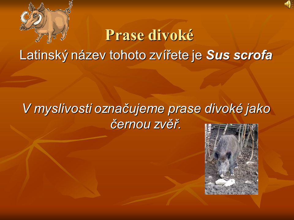 Prase divoké Latinský název tohoto zvířete je Sus scrofa