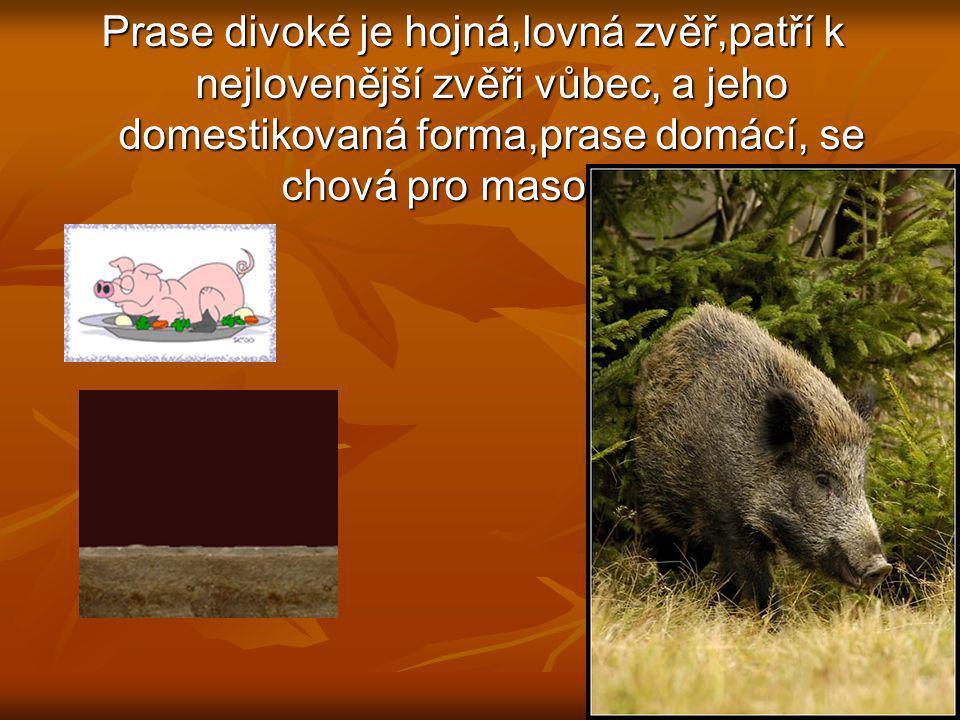 Prase divoké je hojná,lovná zvěř,patří k nejlovenější zvěři vůbec, a jeho domestikovaná forma,prase domácí, se chová pro maso a tuk.