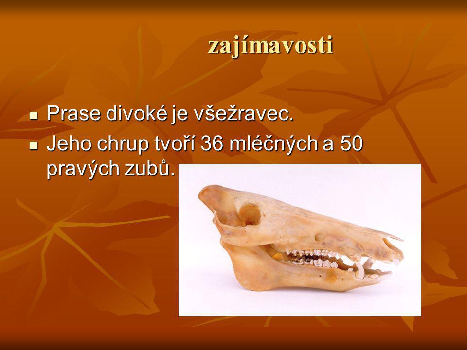 zajímavosti Prase divoké je všežravec. Jeho chrup tvoří 36 mléčných a 50 pravých zubů.
