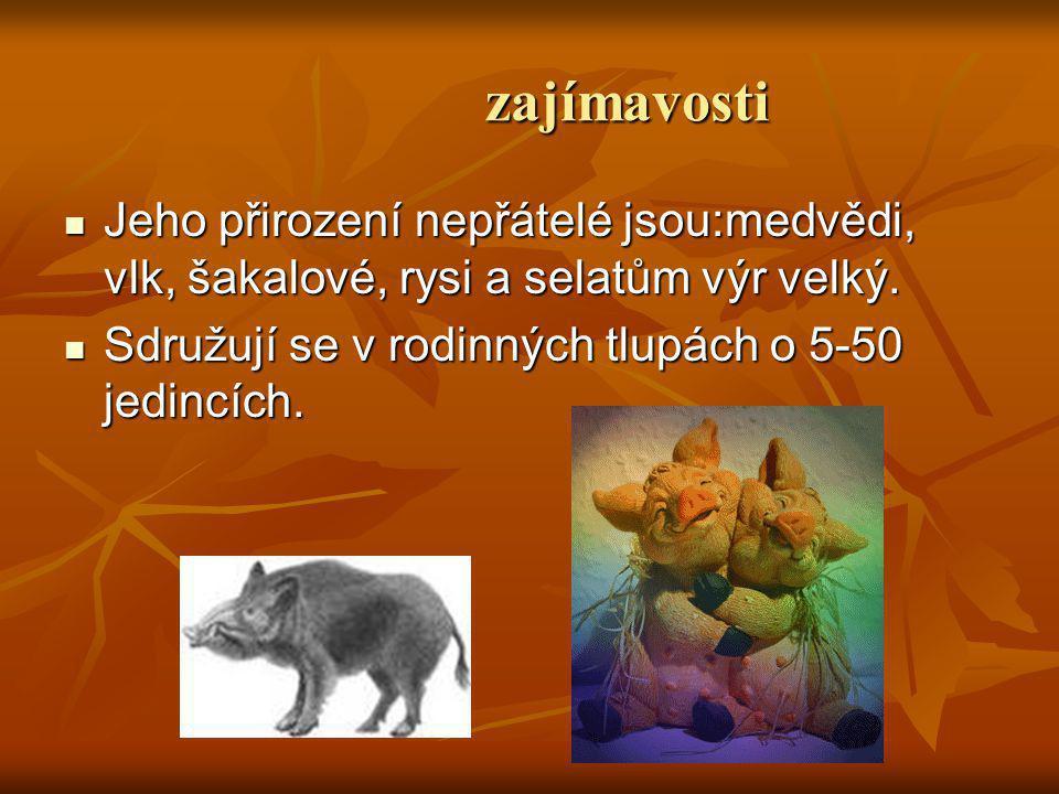 zajímavosti Jeho přirození nepřátelé jsou:medvědi, vlk, šakalové, rysi a selatům výr velký.