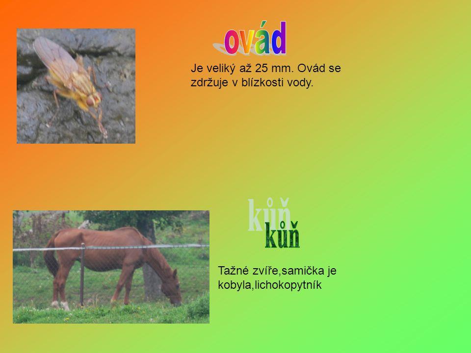 ovád kůň Je veliký až 25 mm. Ovád se zdržuje v blízkosti vody.