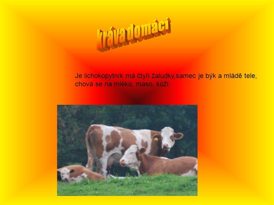 kráva domácí Je lichokopytník má čtyři žaludky,samec je býk a mládě tele, chová se na mléko, maso, kůži.