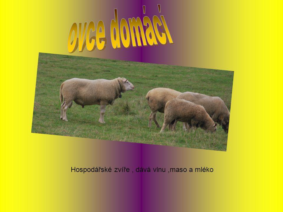 ovce domácí Hospodářské zvíře , dává vlnu ,maso a mléko