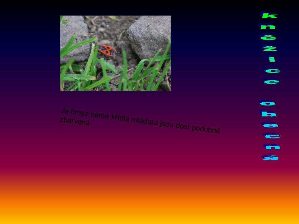 kněžice obecná Je hmyz nemá křídla mláďata jsou dost podobně .