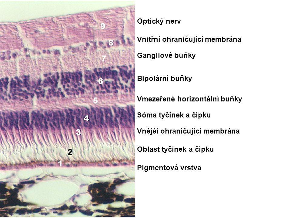 Optický nerv Vnitřní ohraničující membrána. Gangliové buňky. Bipolární buňky. Vmezeřené horizontální buňky.