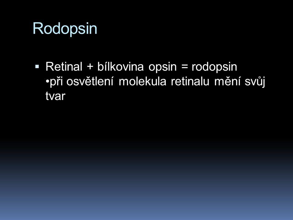 Rodopsin Retinal + bílkovina opsin = rodopsin •při osvětlení molekula retinalu mění svůj tvar