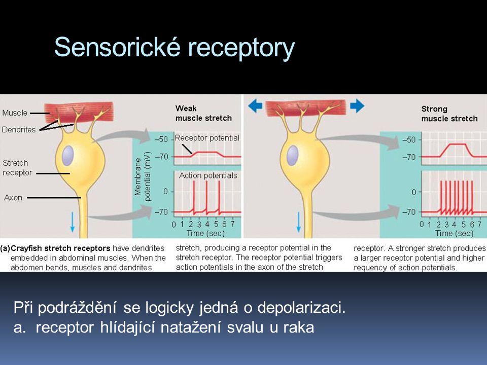 Sensorické receptory Při podráždění se logicky jedná o depolarizaci.