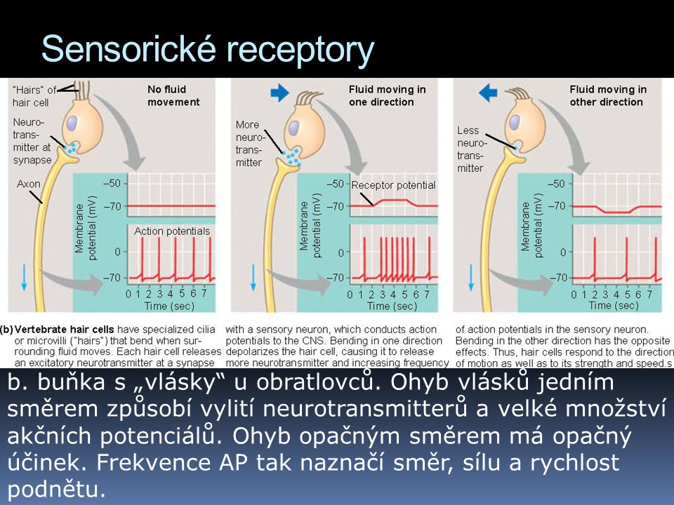 Sensorické receptory