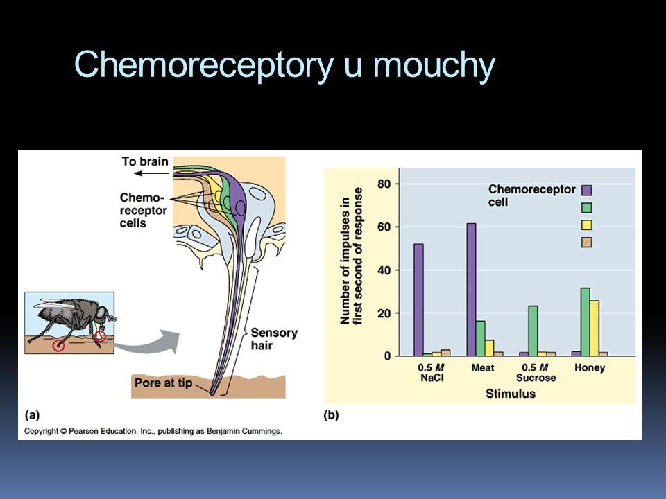 Chemoreceptory u mouchy