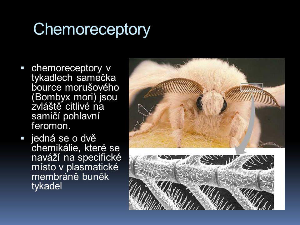 Chemoreceptory chemoreceptory v tykadlech samečka bource morušového (Bombyx mori) jsou zvláště citlivé na samičí pohlavní feromon.