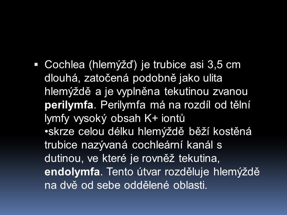 Cochlea (hlemýžď) je trubice asi 3,5 cm dlouhá, zatočená podobně jako ulita hlemýždě a je vyplněna tekutinou zvanou perilymfa.