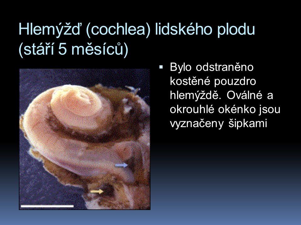 Hlemýžď (cochlea) lidského plodu (stáří 5 měsíců)