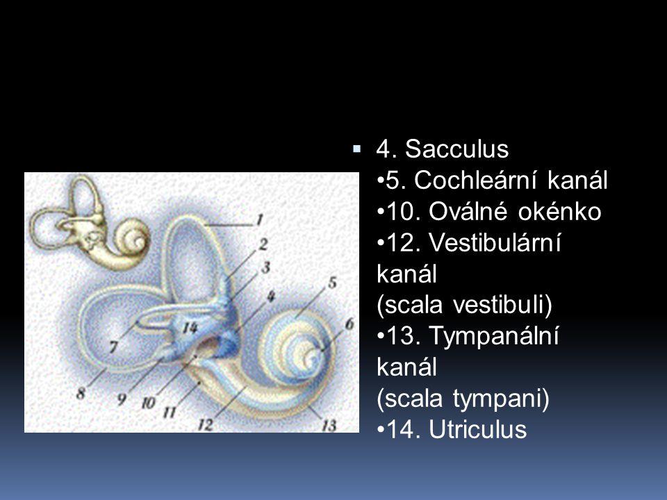 4. Sacculus •5. Cochleární kanál •10. Oválné okénko •12