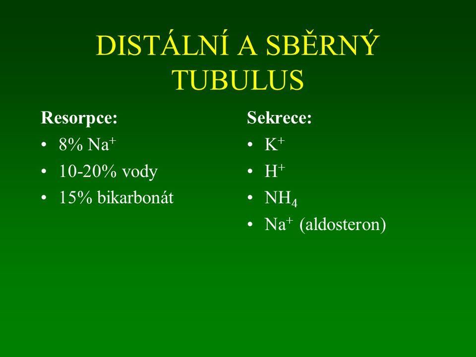 DISTÁLNÍ A SBĚRNÝ TUBULUS