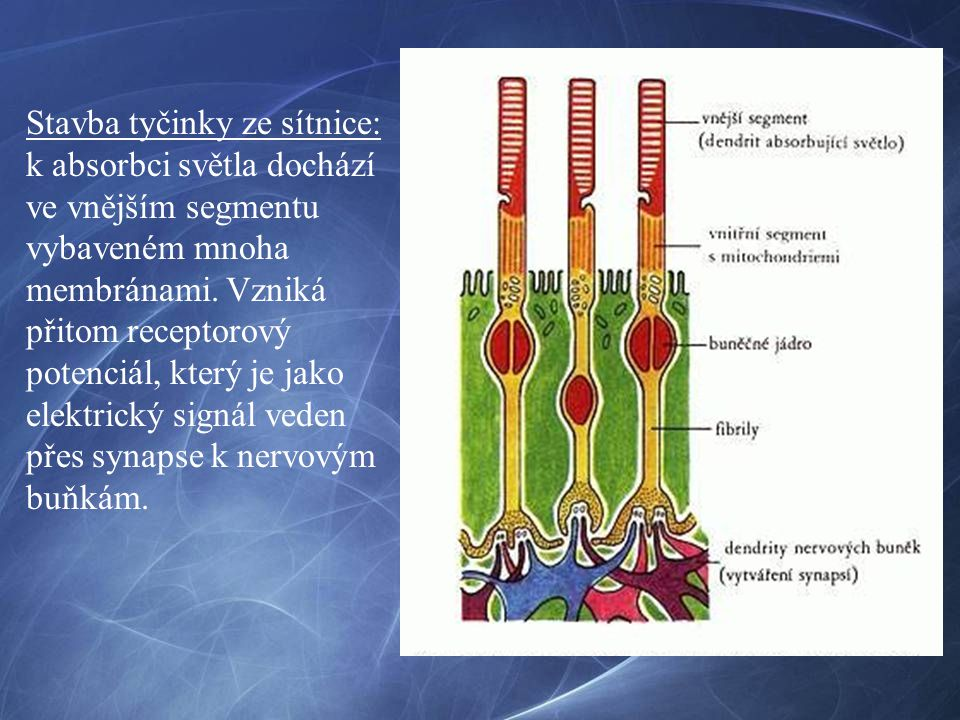 Stavba tyčinky ze sítnice: k absorbci světla dochází ve vnějším segmentu vybaveném mnoha membránami.