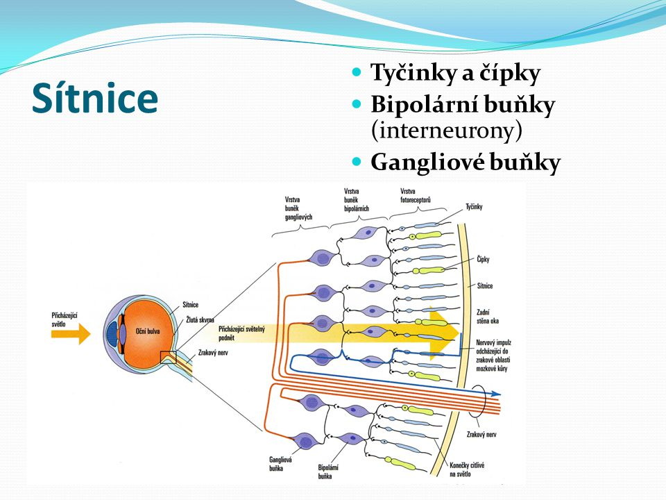 Sítnice Tyčinky a čípky Bipolární buňky (interneurony) Gangliové buňky