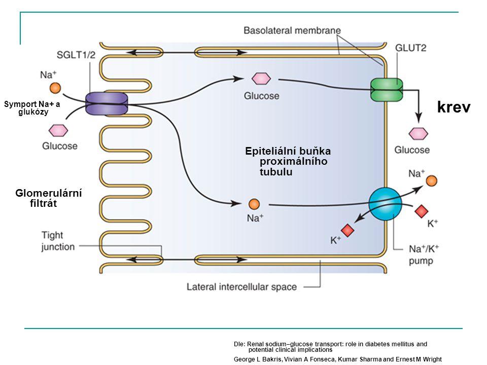 krev Epiteliální buňka proximálního tubulu Glomerulární filtrát