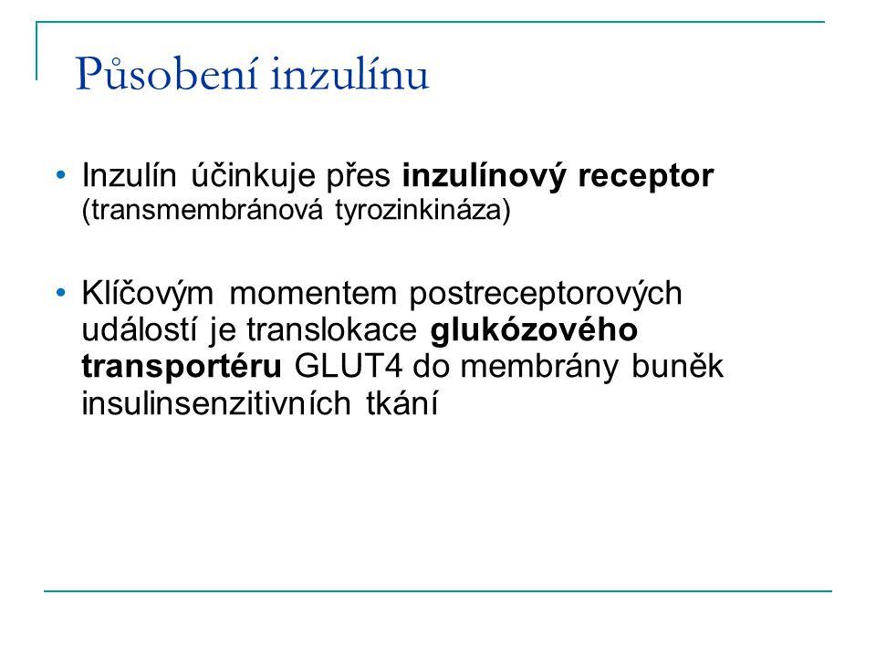 Působení inzulínu Inzulín účinkuje přes inzulínový receptor (transmembránová tyrozinkináza)