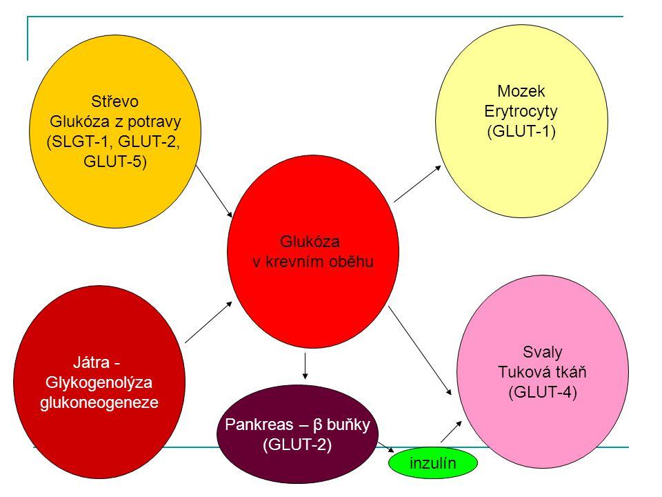 Mozek Erytrocyty. (GLUT-1) Střevo. Glukóza z potravy. (SLGT-1, GLUT-2, GLUT-5) Glukóza. v krevním oběhu.