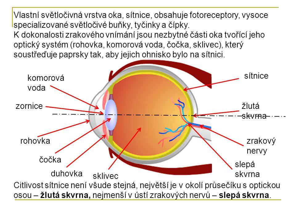 Vlastní světločivná vrstva oka, sítnice, obsahuje fotoreceptory, vysoce specializované světločivé buňky, tyčinky a čípky.
