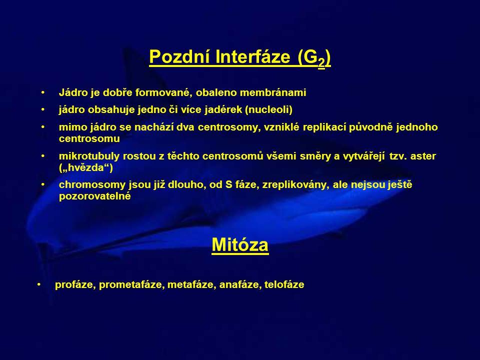 Pozdní Interfáze (G2) Mitóza