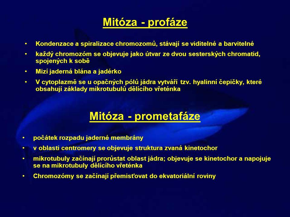 Mitóza - profáze Mitóza - prometafáze