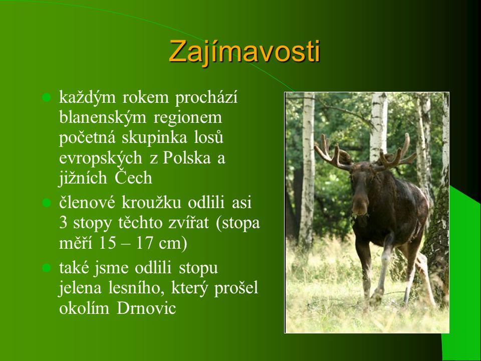 Zajímavosti každým rokem prochází blanenským regionem početná skupinka losů evropských z Polska a jižních Čech.