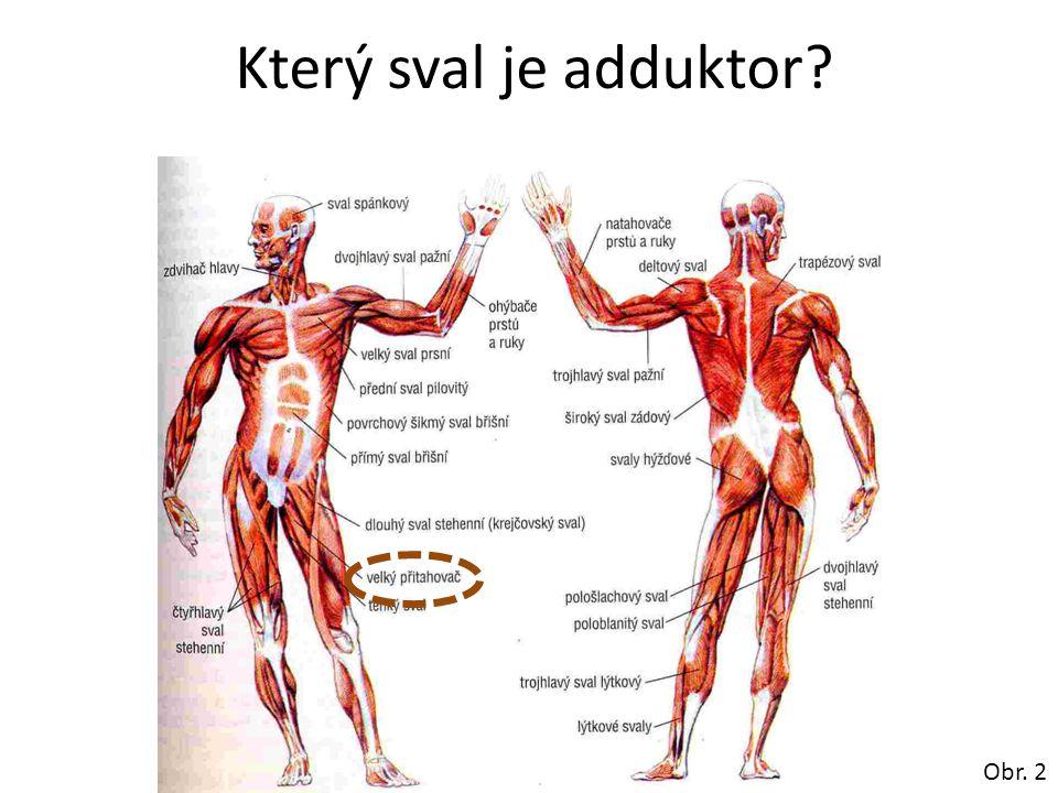 Který sval je adduktor Obr. 2