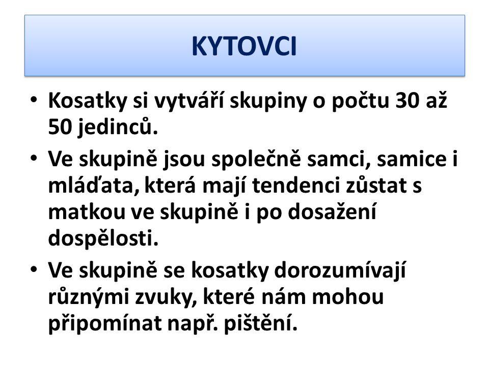 KYTOVCI Kosatky si vytváří skupiny o počtu 30 až 50 jedinců.