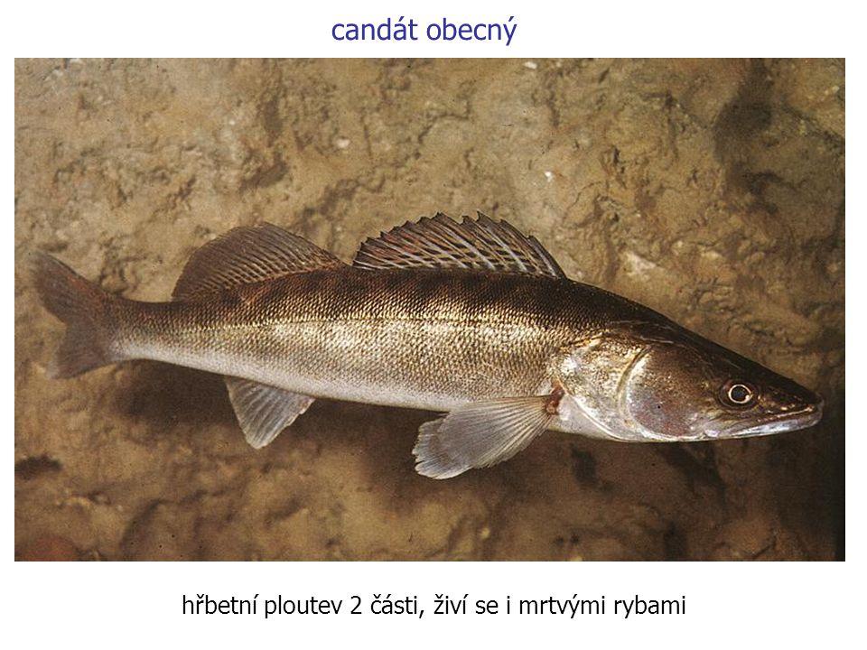 hřbetní ploutev 2 části, živí se i mrtvými rybami