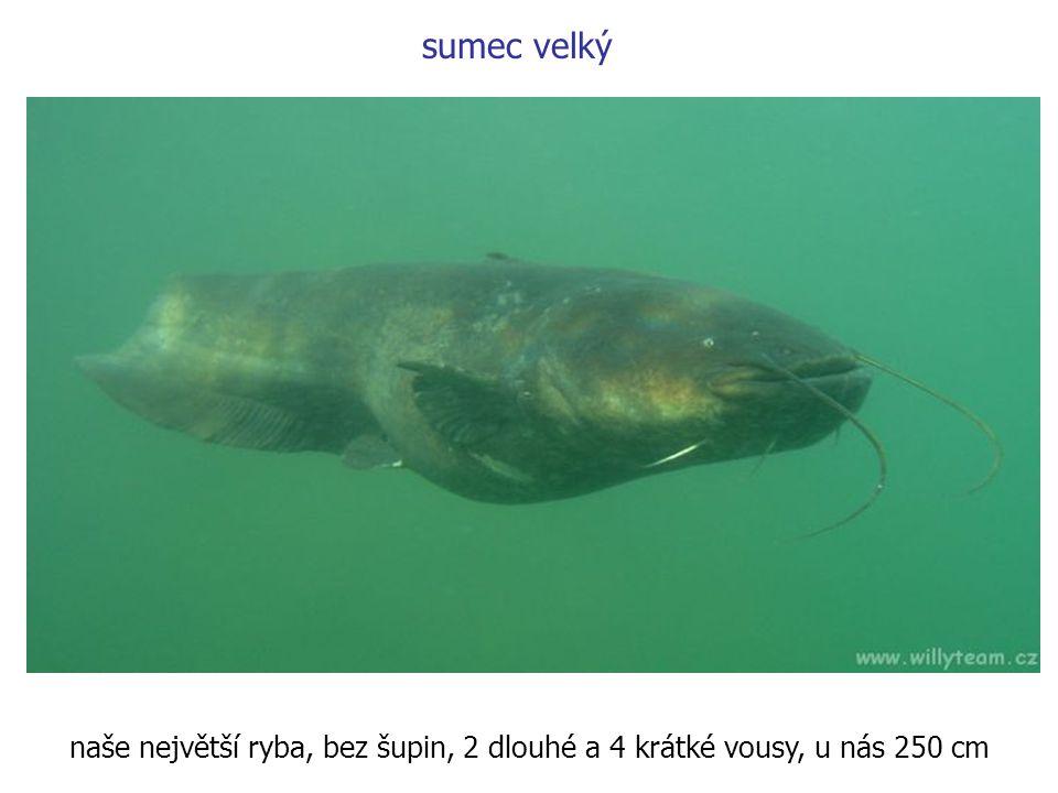 naše největší ryba, bez šupin, 2 dlouhé a 4 krátké vousy, u nás 250 cm