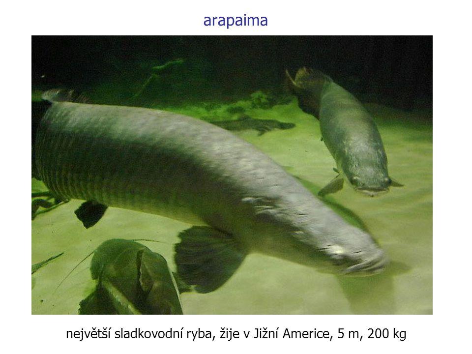 největší sladkovodní ryba, žije v Jižní Americe, 5 m, 200 kg